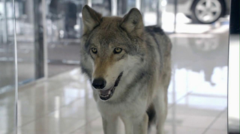 Cars.com 2013 Super Bowl TV Spot, 'Wolf Drama' - 1282 commercial airings