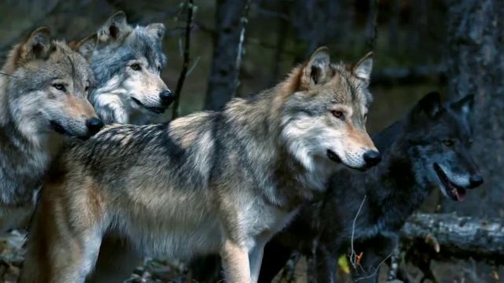 Blue Buffalo Wilderness Tv Commercial Wolf Ispot Tv